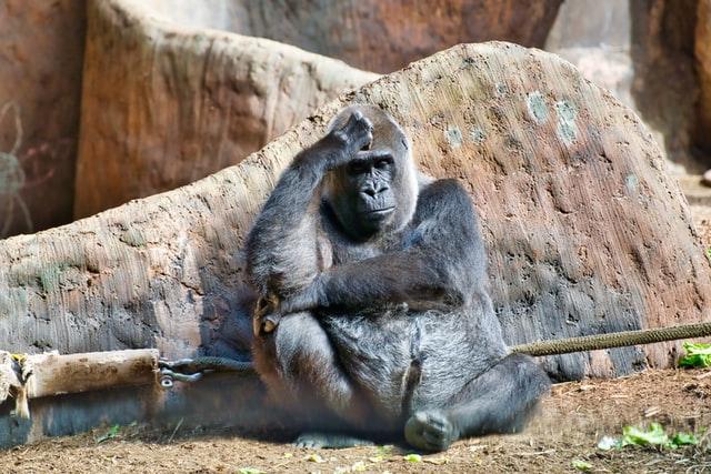 San Diego Hayvanat Bahçesi'ndeki Gorillerde Koronavirüs Var